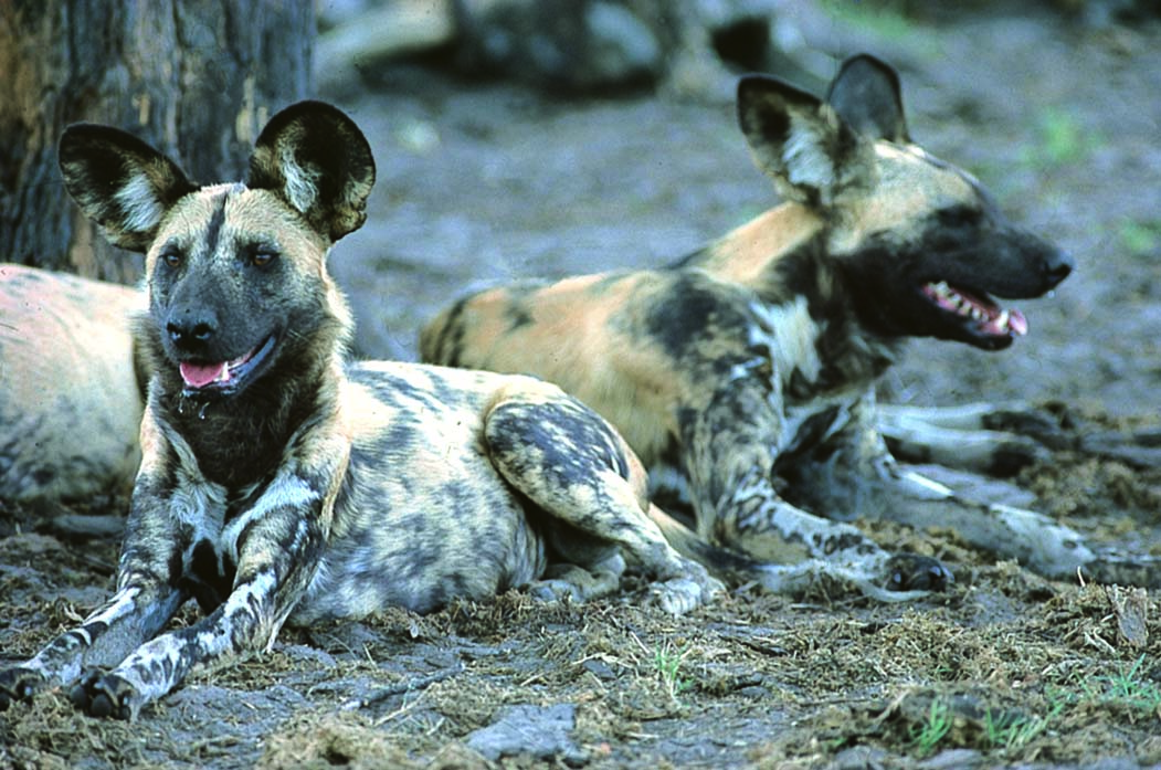 painted Dog Abakwenyana alpha pair