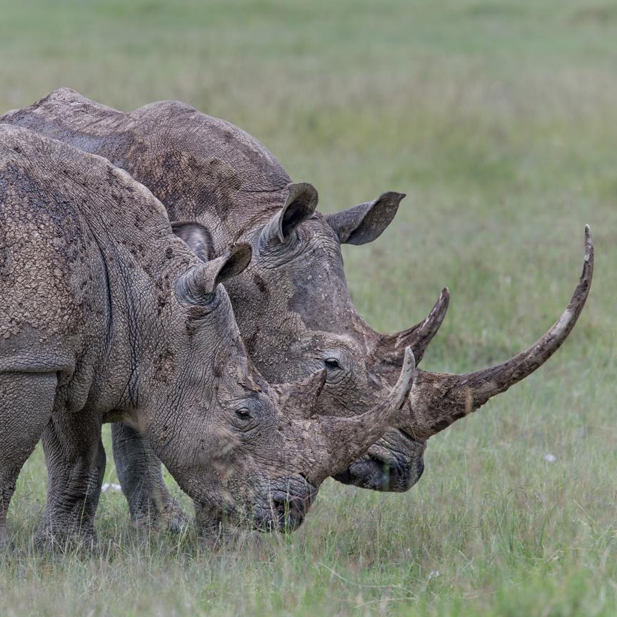 Rhinos horn to horn by Annie Katz
