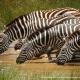 Zebras drinking water in Amboseli National Park by Fabrizio Frigeni/unsplash