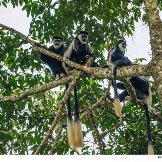 Uganda primates photo credit Nina R on Flickr