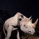 Black Rhinos of the Serengeti: A Success Story for Tanzania