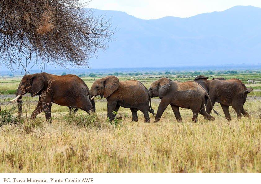 Tsavo elephants by AWF