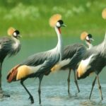 The Charisma of Cranes in Promoting Environmental Management and Sustainable Livelihood