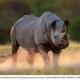 Black Rhino - Etosha National Park