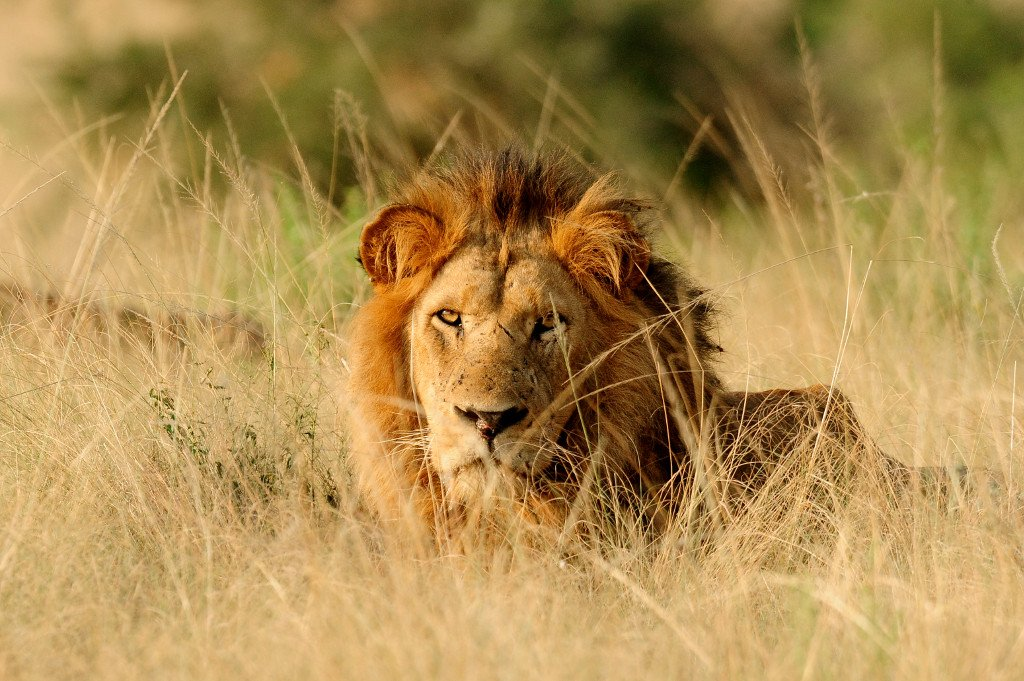 African lions male in wild Uganda