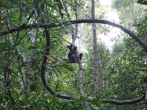 Indri Indri species in Madagascar
