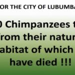 The End of the Chimpanzee Trade in Southern DR Congo, and Next Steps to Protect Primates across Africa
