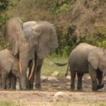 Challenges and perspectives for saving the last forest elephants of DRC