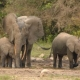 African Forest Elephant trio