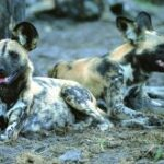 Using satellites to understand trans-boundary landscapes and integrate species management in the Painted dog Lycaon pictus