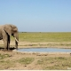 African Elephant pcredit Nikhil Advani