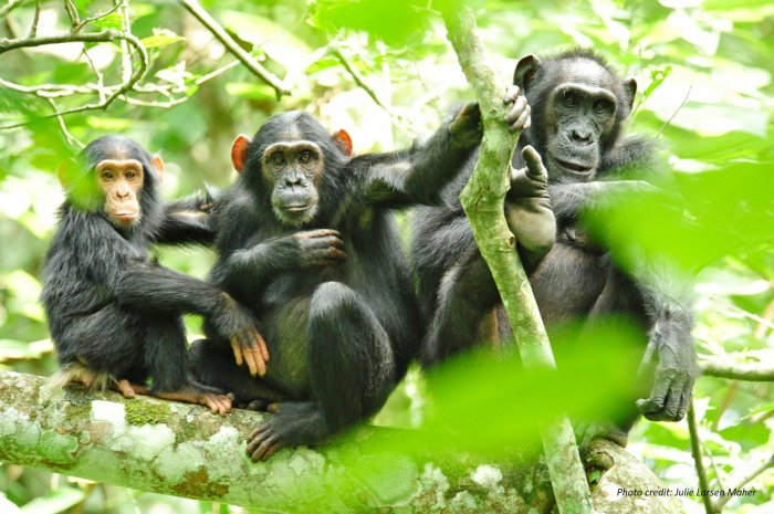 Chimpanzees in the wild photo by Julie Larsen Maher