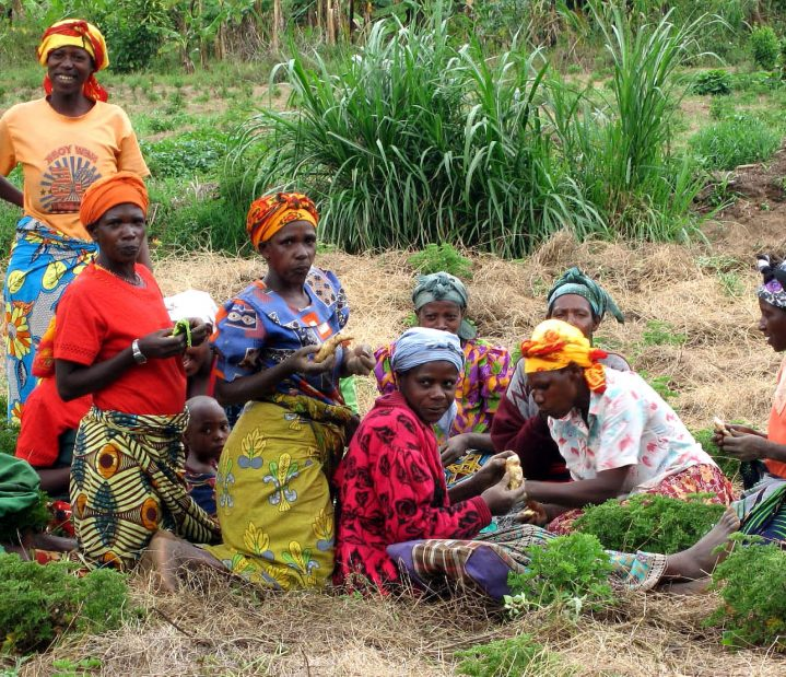 Women harvesting geranium plants from which they hope to distill