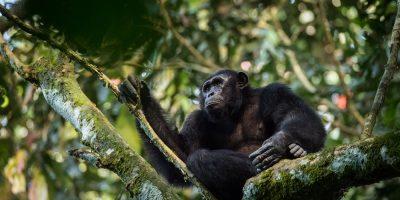 First-Ever Africa-Wide Great Ape Assessment Reveals Human Activity, not Habitat Availability, is Greatest Driver of Ape Abundance_6173e2b46dd99.jpeg