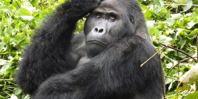Gorilla Coffee Alliance to Enhance Rural Livelihoods and Wildlife Conservation in the Democratic Republic of the Congo_6173e302d709e.jpeg