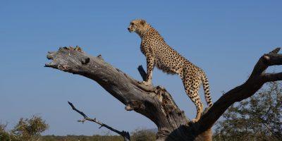 pexels-photo-cheetah-southafrica.jpeg