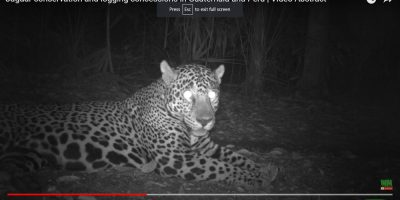 Responsibly Managed Forest Concessions Can Protect Jaguars and Other Mammals (English and Spanish)_6173e27ca2d9d.jpeg